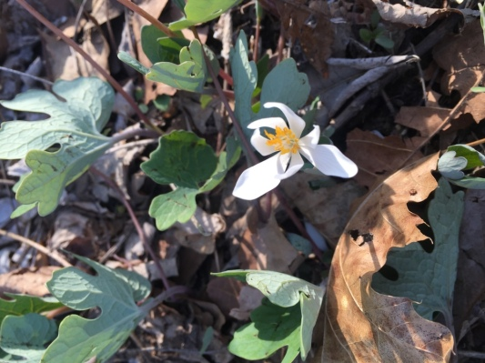 Bloodroot Blooming