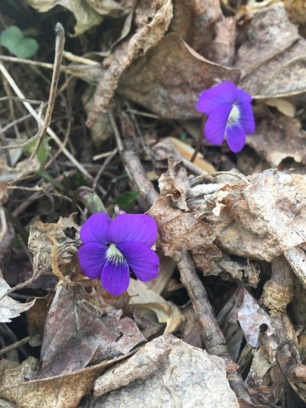 Some Violets for ya!